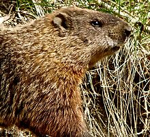 Groundhog by Amanda  Kendall