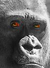 I`m Looking at You !!  - Silverback Male Gorilla  by Colin J Williams Photography