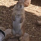 Prairie Dog by elisab