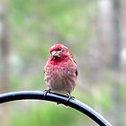 Purple Finch by Anne Smyth
