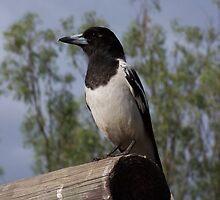 Pied Butcher Bird by Rex Hensler
