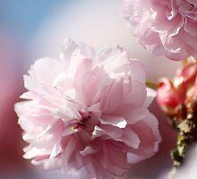 Cherry tree blossom by Gemma  Simpson
