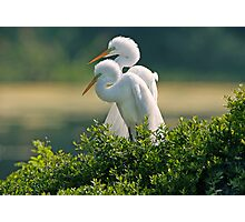 Happily Married Egrets Photographic Print