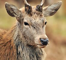 red deer youngster by Grandalf