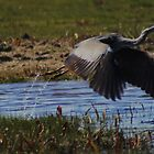 Take Off - Grey Heron by Dave Godden