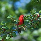 Tommy's Tanager by Bonnie T.  Barry