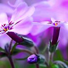 Beautiful Pink Spring Phlox by T.J. Martin