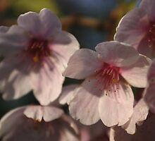 Cherry Blossom by Daisy-May