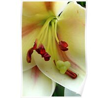 White Lily with Red Stamens Poster