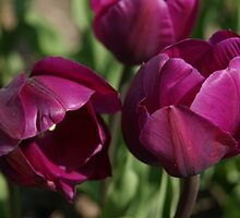 singing tulips by Fran E.
