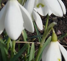 Three Fresh Spring Snowdrops by Sandra Cockayne