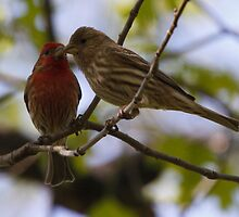 Kissing House Finches by Dennis Cheeseman