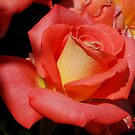 One PERFECT Rose!!! by Marjorie Wallace