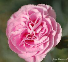 Rosie Cheek Dianthus by zpawpaw