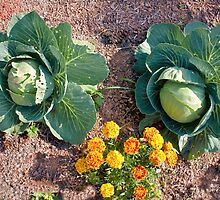 Cabbage and Marigold by Stacey Lynn Payne