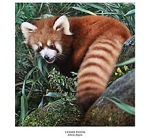 LESSER PANDA (Ailurus fulgens): (NOT A PHOTOGRAPH) by DilettantO