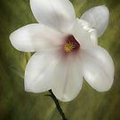 Magnolia by Mandy Disher