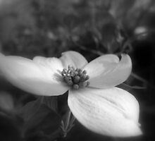Dogwood 2 by junebug076