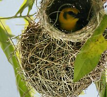 weaver bird blues by Robin Loveridge