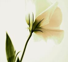 Lisianthus by Christina Backus