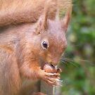 Red Squirrel Snacking by monkeyferret
