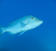 Spangled Emperor, Lethrinus nebulosus - Agincourt Reef, Port Douglas by rgephotography