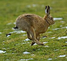 Brown hare running by wildlifephoto