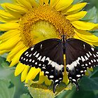 Butterfly and sunflower by PaulWilkinson