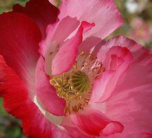 Pink Poppy Series IV by B.L. Thorvilson