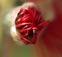 April Bottlebrush by kalaryder