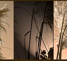 Pampas Grass Montage by Chris Armytage™