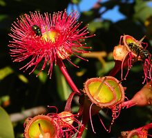 Red Flowering Gum with Bee & Fly by TeAnne