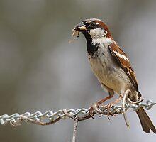 Mr Sparrow by Tainia Finlay