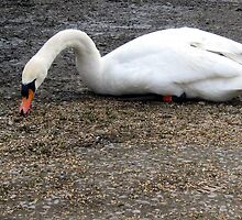 99 - SWAN AT QEII LAKE, ASHINGTON (D.E. 2010) by BLYTHPHOTO