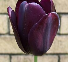 Black Queen .. Tulip by LoneAngel