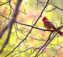 Cardinal In The Bokeh by withacanon