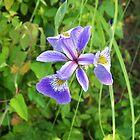 Wild Iris by TheCanadianBear