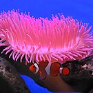 Anemone & Clownfish by Robert Abraham