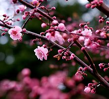 More blossoms by photodivaanna