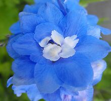 Larkspur- Delphinium consolida by Tracy Faught