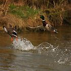 Ducks take flight by RFK C