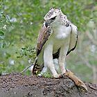 Martial Eagle by Aldi221