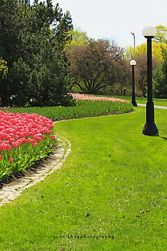 Tulips, Garden of the Provinces and Territories by Yannik Hay