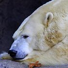 Winter Blues - Polar Bear by Tony Wilder
