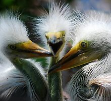 Baby Great White Egrets by Eaglelady
