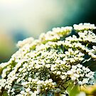 Small White Flowers by psnoonan