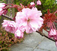 Ornamental Cherry Blossom 2 by Barry Norton