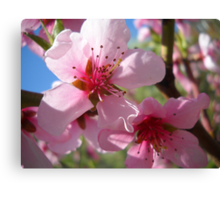 Blooms and Blossoms.Peach. Canvas Print