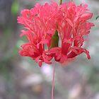 Hibiscus  by Virginia McGowan