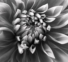 Dahlia by Shubd
